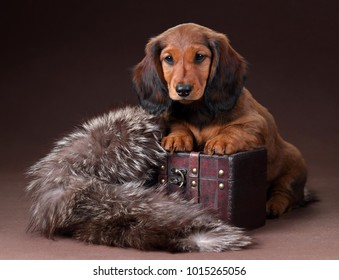 Cute dachshund puppy on a wooden chest