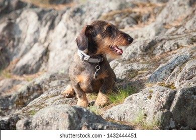 Cute dachshund puppy posing for photographer on a hot summer day