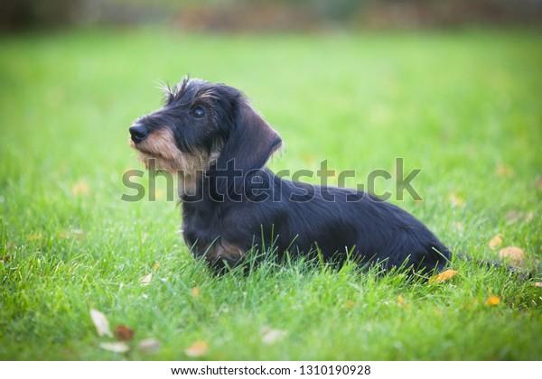 Cute dachshund puppy sitting on the lawn