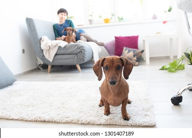 Cute dachshund in room with woman and other dog on background in light appartment