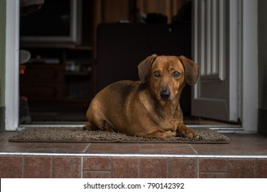 Cute dachshund sitting on the doorstep like a watchdog