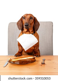 Cute dachshund sitting at the table ready to eat