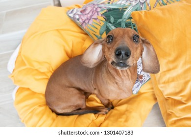 Cute dachshund top view sits on orange pillows and looking up