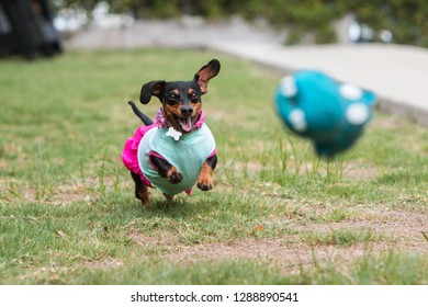 A cute dachshund wearing clothes chases after a toy tossed by its owner in a public park.