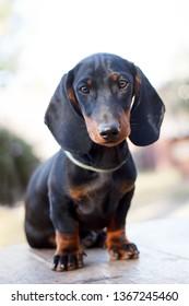Cute dachshunds puppies
