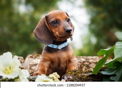 cute dachshunds puppy with nature background