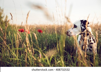 Cute Dalmatian Dog In A Cornfield