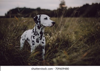 Cute Dalmatian Dog In A Cornfield Grainfield