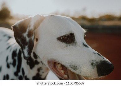 Cute Dalmatian Dog During Sunset