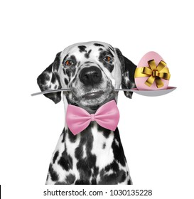 Cute dalmatian dog with spoon and easter egg. Isolated on white background