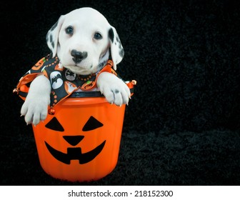 Cute Dalmatian puppy sitting in a Halloween bucket with copy space, on a black background.