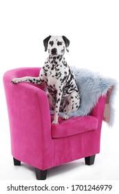 Cute dalmatenationshund sitzt auf rosafarbenem Stuhl
