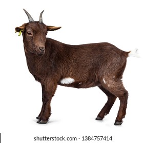 Cute dark brown pygmy goat, standing side ways. Looking beside camera with head turned. Isolated on white background.