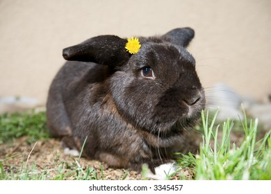 Cute, dark bunny on  grass, with yellow flower on his head.