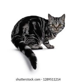263ffda671 Cute dark tabby British Shorthair cat kitten
