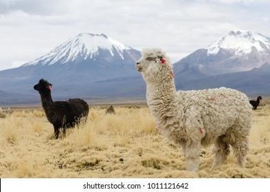 Cute decorated llamas against volcanos of Altiplano, Bolivia, South America