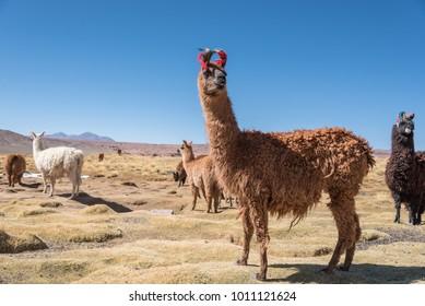 Cute decorated llamas of Altiplano, Bolivia South America