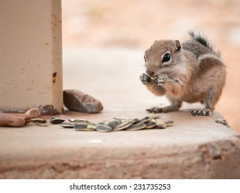 Cute desert ground squirrel eating sunflower seeds