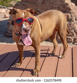 Cute dog being walked while wearing sunglasses.