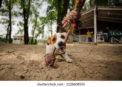 Cute dog biting the colorful rope on the beach on the blurred background on summerhouse and trees