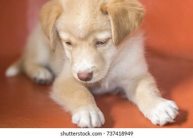 Cute dog with blue eyes