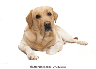 cute dog breed labrador isolated