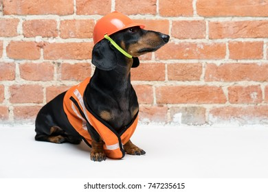 cute dog builder dachshund in an orange construction helmet and a vest, against a red brick wall