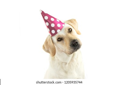 CUTE DOG CELEBRATING A BIRTHDAY PARTY TINTING THE HEAD SIDE AND LOOKING AT CAMERA