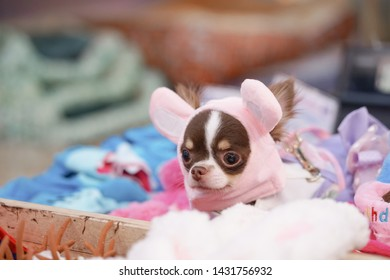 Cute dog. A Chihuahua pure breed dog in the wire mesh basket for selling dog and puppy accessories.