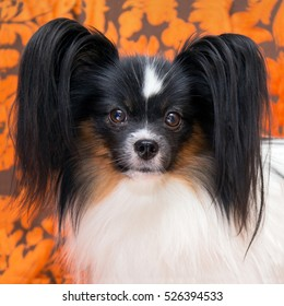 Cute dog of the Continental Toy spaniel - Papillon