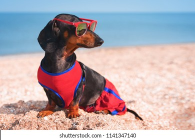 cute dog Dachshund breed, black and tan, in a red blue vest and red sunglasses, sits on a sandy beach against the sea