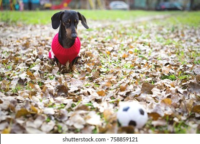 cute dog of the Dachshund breed, black and brown, in red white clothes (sweater, jacket) looks of a toy ball, in an autumn park among fallen leaves