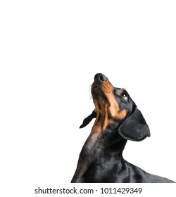 Cute dog dachshund looking up isolated on a white background, space for text.