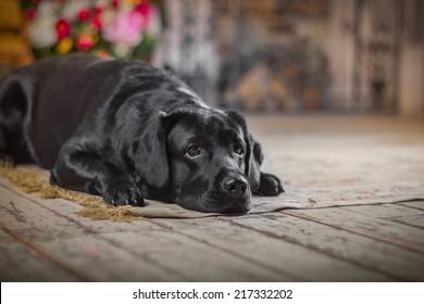 Cute dog with a flower, dog breed labrador retriever black