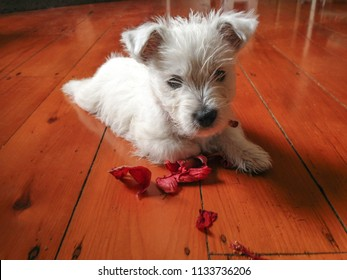 Cute dog with flower: west highland terrier westie puppy with chewed red petals on timber hardwood floor in New Zealand, NZ