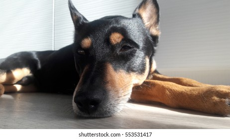 cute dog with funny face sleeping and laying on floor with whiskers and black nose, closeup, selective focus