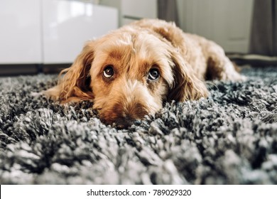 Cute dog giving his best puppy dog eyes.