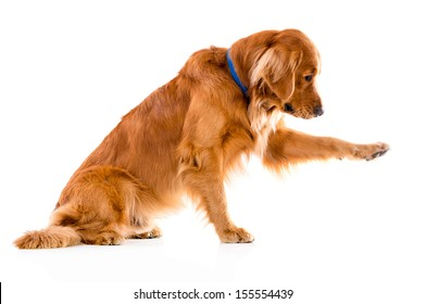 Cute dog giving his paw - isolated over a white background