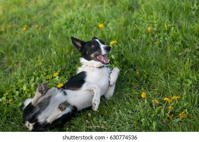 Cute dog having fun in grass lying around and smiling