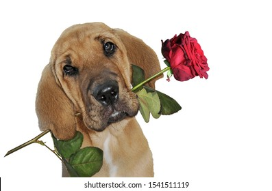 A cute dog holds a red rose in his mouth and declares it`s love somebody