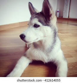 cute dog husky
