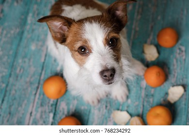 cute dog Jack Russell Terrier with tangerines. New year's eve dinner.