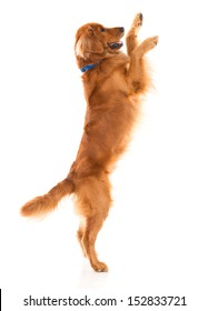 Cute dog jumping - isolated over a white backgorund