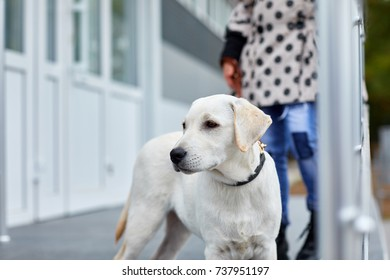 A cute dog labrador standing on the street. Pet concept.