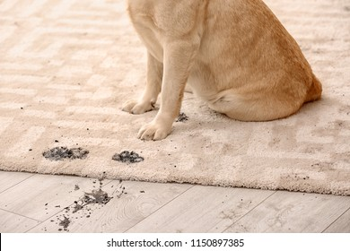 Cute dog leaving muddy paw prints on carpet