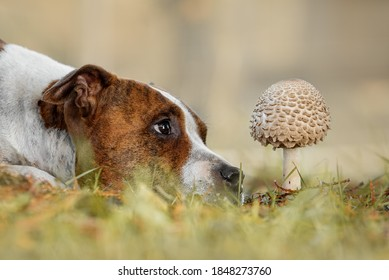 Cute dog lies on the grass in autumn and looks at the mushroom. American staffordshire terrier dog.
