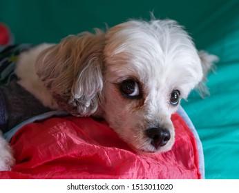 Cute dog looking at camera  with anxious eyes