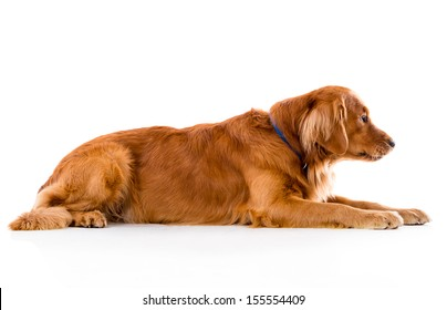Cute dog lying down - isolated over white background