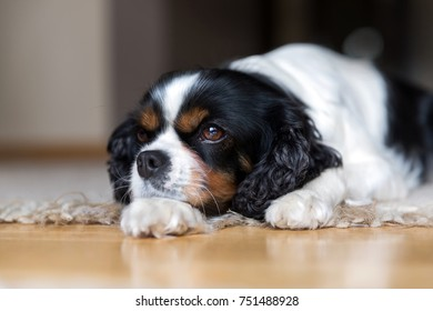 Cute dog lying on the floor and relaxing