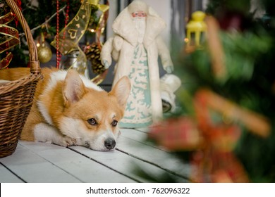 Cute dog lying on the porch next to Christmas decorations